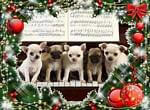 puppies on piano